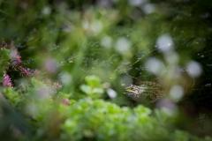 Kikker in de vijver