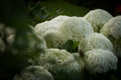 Hydrangea 'Annabelle'