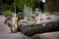 Woestijntuin: 'De stokstaartjes'