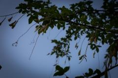 Laburnum anagyroides 'Gouden regen'